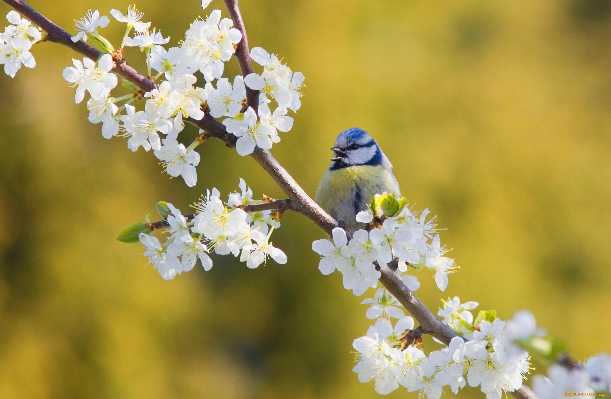Картинки на тему весна синичка продаже